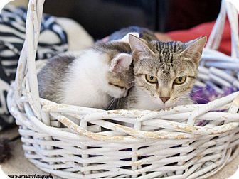 Domestic Shorthair Cat for adoption in Knoxville, Tennessee - Juno