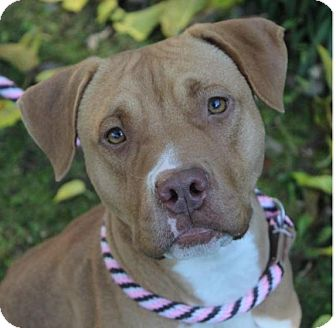 Pit Bull Terrier Mix Dog for adoption in Red Bluff, California - MORGAN:Low Fee: altered