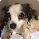 Adopt A Pet :: Daisy (Papillion