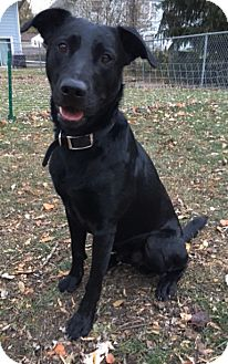 Labrador Retriever Mix Dog for adoption in St. Charles, Illinois - Rizzo
