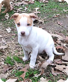 Labrador Retriever/Shepherd (Unknown Type) Mix Puppy for adoption in Manchester, New Hampshire - Heaven