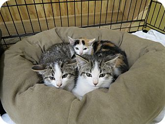 Calico Kitten for adoption in Sparta, New Jersey - Kittens