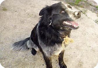 Australian Shepherd Mix Puppy for adoption in Moulton, Alabama - Randy