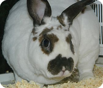 Mini Rex Mix for adoption in Cheyenne, Wyoming - Milo