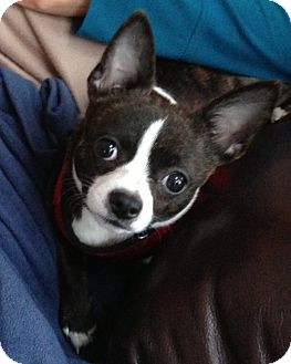 Boston Terrier/Chihuahua Mix Puppy for adption in southern, New Jersey ...