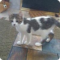 Adopt A Pet :: Aramis - Sterling Hgts, MI