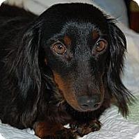 Adopt A Pet :: Seehla Rose - Knoxville, TN