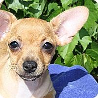 Adopt A Pet :: GLORY - Elk Grove, CA