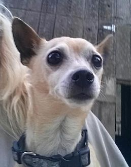Chihuahua Mix Dog for adoption in Templeton, California - Scooter