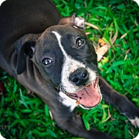Adopt A Pet :: Lily - Ft. Myers, FL
