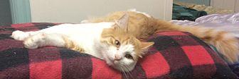Domestic Mediumhair Cat for adoption in Oakland, Oregon - Ringo