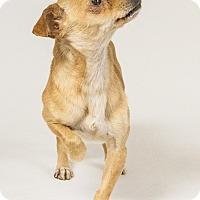 Chihuahua Mix Dog for adoption in Yelm, Washington - Timmy