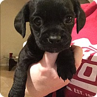 Adopt A Pet :: Flash - Henderson, NV