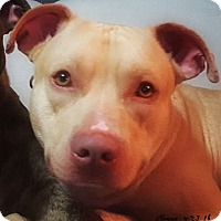 American Pit Bull Terrier Dog for adoption in Des Moines, Iowa - Rocco