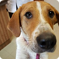 Adopt A Pet :: Lilly - Uxbridge, MA