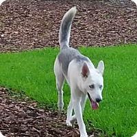 Adopt A Pet :: Tundra - Clearwater, FL
