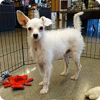Adopt A Pet :: Bunny Foo Foo - Tacoma, WA