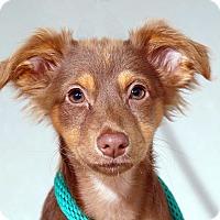 Adopt A Pet :: Amir - Sudbury, MA
