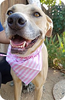 Labrador Retriever Mix Dog for adoption in Apple Valley, California - Gabby