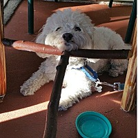 Maltese/Poodle (Miniature) Mix Dog for adoption in Woodland Hills, California - Bo