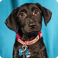 Adopt A Pet :: Blossom - Minneapolis, MN