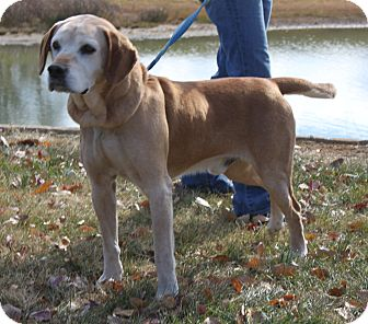 Labrador Retriever Dog for adoption in Staunton, Virginia - Hokie