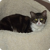 Domestic Mediumhair Cat for adoption in Cheboygan, Michigan - kitty