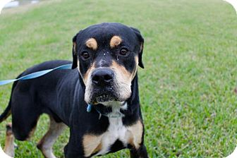 Rottweiler Dog for adoption in Dickinson, Texas - Copper