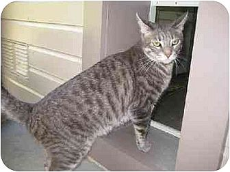 Domestic Shorthair Cat for adoption in Agoura Hills, California - Katherine