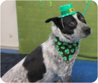 rat terrier australian cattle dog mix star bucks adopted dog 34530 melbourne ky 4963