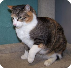 Domestic Shorthair Cat for adoption in Colorado Springs, Colorado - Gypsy