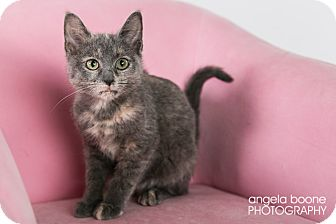 Domestic Shorthair Kitten for adoption in Eagan, Minnesota - Charlotte