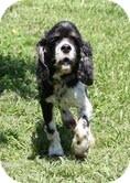 Cocker Spaniel Mix Dog for adoption in Brattleboro, Vermont - Thor ($200 adoption fee)