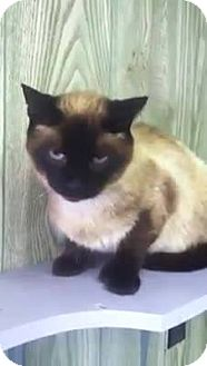 Siamese Cat for adoption in Dover, Ohio - Sinatra