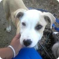 Adopt A Pet :: Darla - Alamosa, CO