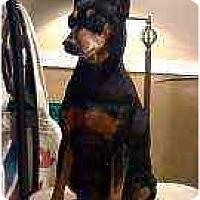 Adopt A Pet :: Linda - Florissant, MO