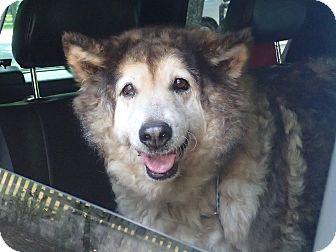 Husky Mix Dog for adoption in Ravenel, South Carolina - Amy