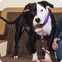 Adopt A Pet :: Noelle - Livonia, MI
