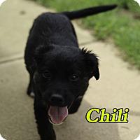 Adopt A Pet :: Chilli - Alpharetta, GA
