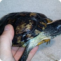 Turtle - Other for adoption in Markham, Ontario - Chase