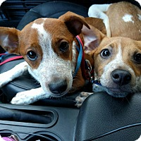 Fox Terrier (Smooth)/Schnauzer (Miniature) Mix Puppy for adoption in HARRISBURG, Pennsylvania - SPENCER AND SCOUT