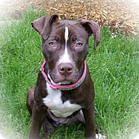 Adopt A Pet :: Violet - Framingham, MA