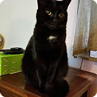 Domestic Shorthair Cat for adoption in Toledo, Ohio - Norman