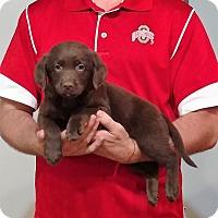 Adopt A Pet :: Harley - Gahanna, OH