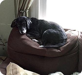 Beagle/Labrador Retriever Mix Dog for adoption in Sharon Center, Ohio - Pip