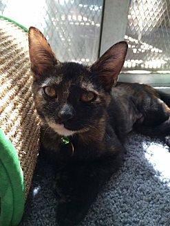 Domestic Shorthair Cat for adoption in San Bernardino, California - Scottie Ann