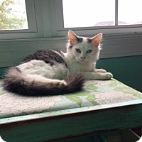Domestic Mediumhair Cat for adoption in Huntsville, Alabama - Tommie