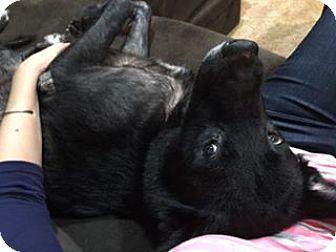 Labrador Retriever Mix Dog for adoption in Overland Park, Kansas - Lucy