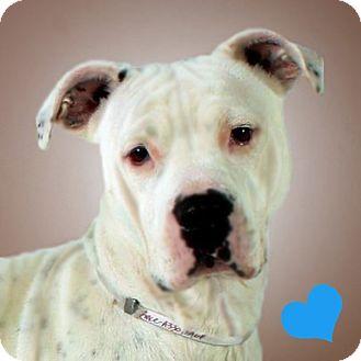 American Staffordshire Terrier Mix Dog for adoption in Prescott, Arizona - Grace