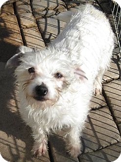 Maltese/Terrier (Unknown Type, Small) Mix Dog for adoption in Oakley, California - Nadine